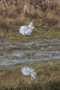 Rabbit Reflected Profile View