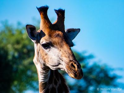 20190219 Southern Giraffe (Giraffa giraffa) near Thabazimbi, Limpopo