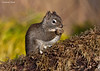 American Red Squirrel also known as the  Pine Squirrel..