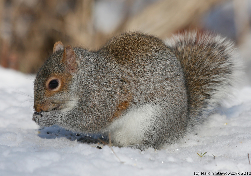 Squirrel and the snow