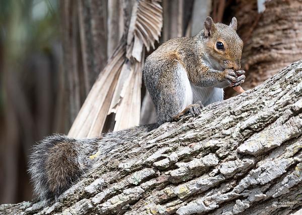 Eastern Grey Squirrel, Fort de Soto, FL, US, May 2018-4