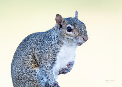 Eastern Grey Squirrel, Fort de Soto, FL, US, May 2018-2