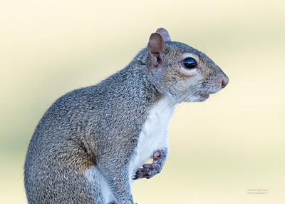 Eastern Grey Squirrel, Fort de Soto, FL, US, May 2018-1