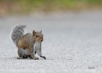 Eastern Grey Squirrel, Fort de Soto, FL, US, May 2018-3