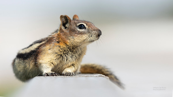 Golden-mantled Ground Squirrel, Yellowstone NP, WY, USA May 2018-1