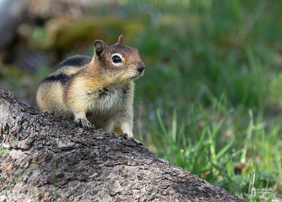 Golden-mantled Ground Squirrel, Yellowstone NP, WY, USA May 2018-3