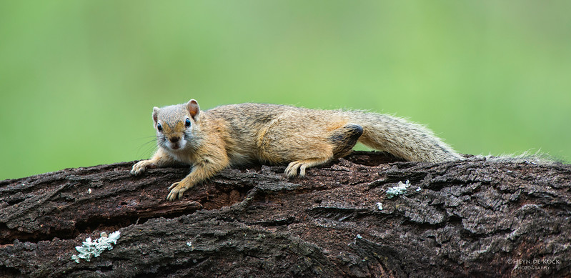 Tree Squirrel, Pilansberg National Park, SA, Dec 2013-3