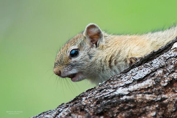 Tree Squirrel, Pilansberg National Park, SA, Dec 2013-1