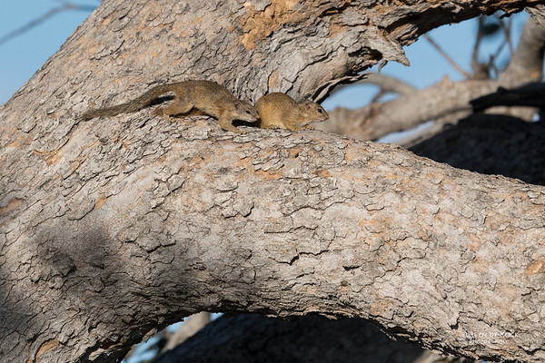Smith's Bush Squirrel, Savuti, Chobe NP, Botswana, May 2017-1