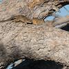 Smith's Bush Squirrel, Savuti, Chobe NP, Botswana, May 2017-1