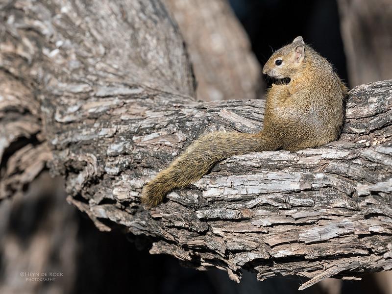 Smith's Bush Squirrel, Mashatu GR, Botswana, May 2017-1