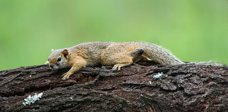 Tree Squirrel, Pilansberg National Park, SA, Dec 2013-2 copy