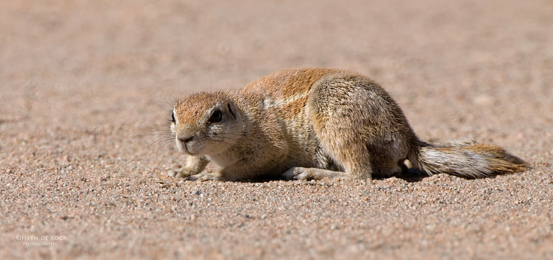 Ground Squirrel, Namibia, July 2011