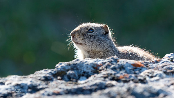 Uinta Ground Squirrel, Yellowstone NP, WY, USA May 2018-1