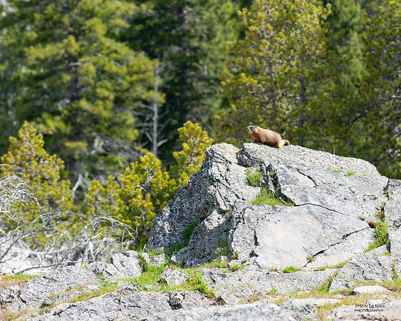 Yellow-bellied Marmot, Yellowstone NP, WY, USA May 2018-1