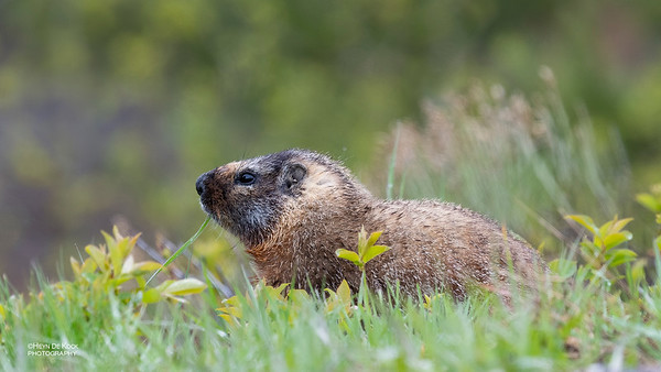 Yellow-bellied Marmot, Yellowstone NP, WY, USA May 2018-2