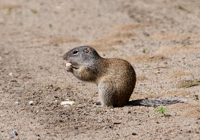 Franklin's Ground Squirrel - White Oak Lake - Deer River, MN