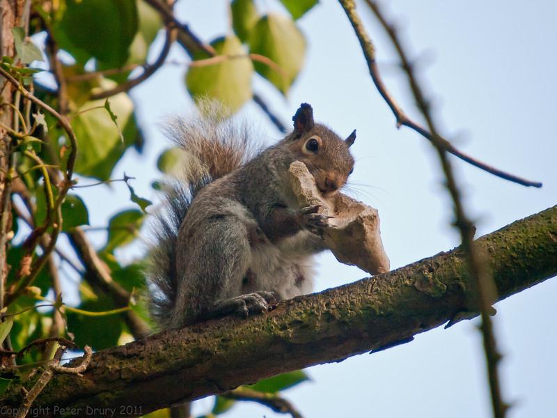 20 April 2008. Grey squirrel in Waterlooville.  Copyright Peter Drury 2011