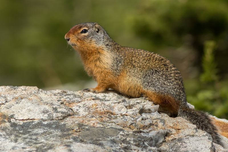 Columbian Ground Squirrel, Mount Revelstoke National Park, British Columbia