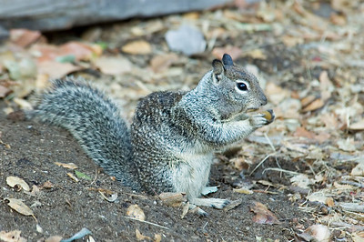 California Ground Squirrel - Pfeiffer Big Sur State Park - CA