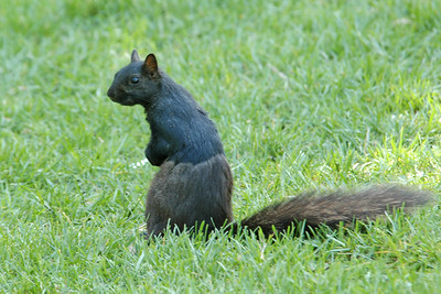 Gray Squirrel - Black Morph - Toronto - Ontario, Canada