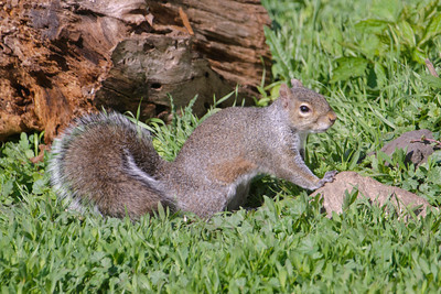Gray Squirrel - MN Valley NWR - Bloomington, MN