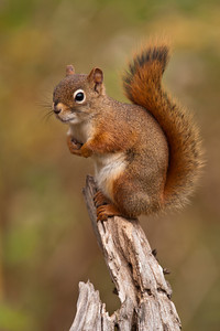 Red Squirrel - Dunning Lake - Itasca County, MN