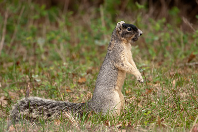 Fox Squirrel - Kissimmee, FL