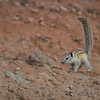 Least Chipmunk, Badlands National Park (North Unit), South Dakota