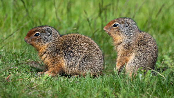 A pair of young columbia ground squirrels