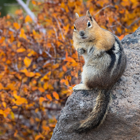 Golden-Mantled Ground Squirrel in the Fall