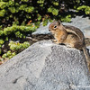 Golden-Mantled Ground Squirrel - Mt Rainier