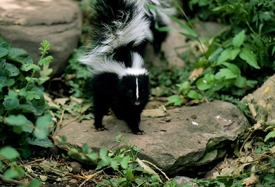 Striped Skunk-106