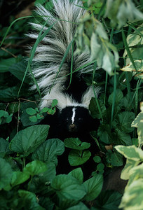 Striped Skunk-108