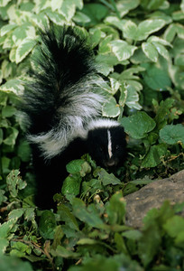 Striped Skunk-110