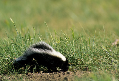 Striped Skunk-101