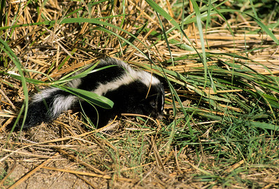 Striped Skunk-104