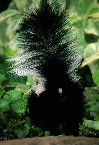 Striped Skunk-111