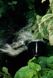 Striped Skunk-109