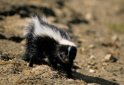 Striped Skunk-103