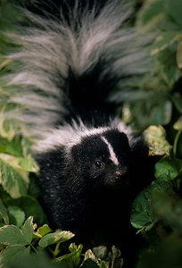 Striped Skunk-107