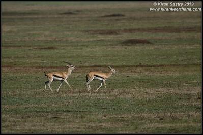 Thomson's Gazelle, Ngorongoro Crater, Ngorongoro Conservation Area, Tanzania, November 2019