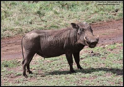 Warthog, Ngorongoro Crater, Ngorongoro Conservation Area, Tanzania, November 2019