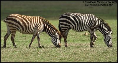 Zebras, Ngorongoro Crater, Ngorongoro Conservation Area, Tanzania, November 2019