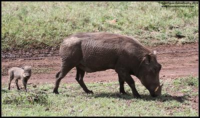 Warthog mother and piglet, Ngorongoro Crater, Ngorongoro Conservation Area, Tanzania, November 2019