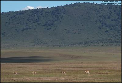 Thomson's Gazelles scape, Ngorongoro Crater, Ngorongoro Conservation Area, Tanzania, November 2019