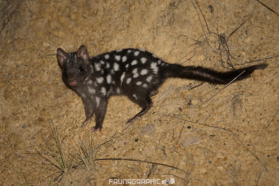 Eastern Quoll (Dark Form)