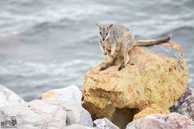 Allied rock-wallaby