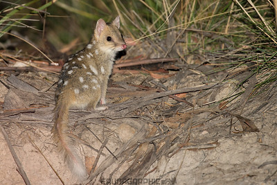 Eastern Quoll (Light Form)
