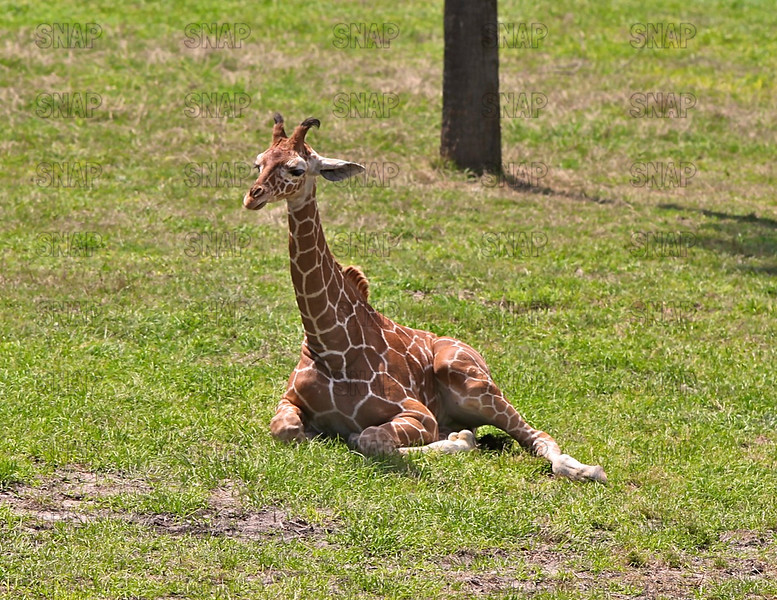 A resting Reticulated Giraffe (Giraffa camelopardalis reticulata) at the Jacksonville Zoo and Gardens.